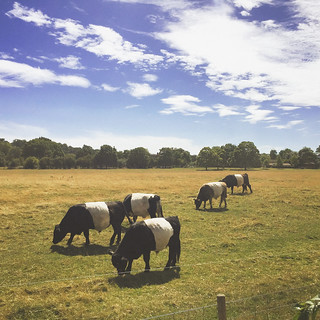 Richmond Cows | by Stew Dean