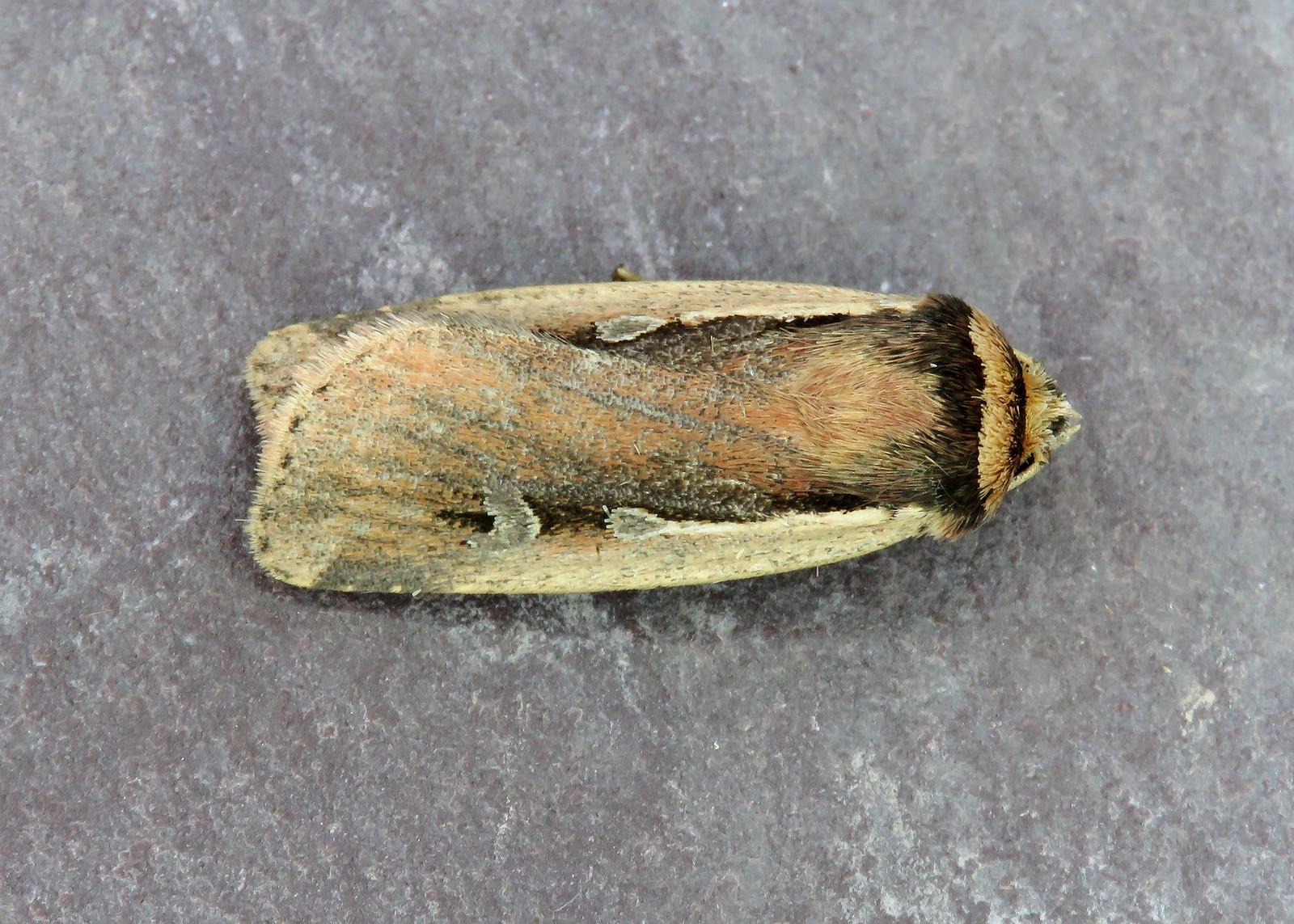 73.329 Flame Shoulder - Ochropleura plecta