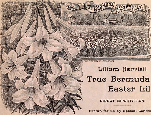"Image from page 4 of ""Ely's special bulb price list : Lilium harrisii, or true Bermuda Easter lily, hyacinths, narcissus, tulips, etc. for summer and fall delivery"" (1896) 