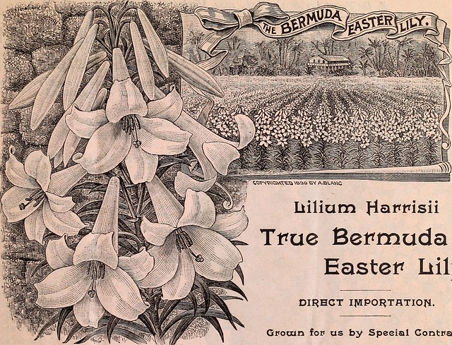 "Image from page 4 of ""Ely's special bulb price list : Lilium harrisii, or true Bermuda Easter lily, hyacinths, narcissus, tulips, etc. for summer and fall delivery"" (1896)"