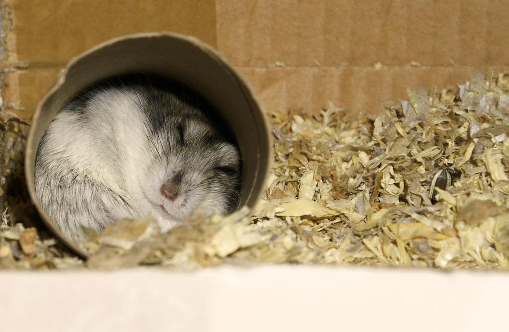 Hamster sleeping | Filipe Ramos | Flickr