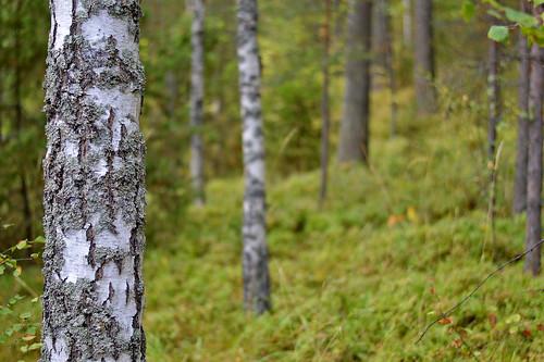 autumn forest wood dof bokeh september nikon nature flickr koivu finland suomi syksy syyskuu metsä metsämaisema trees puut luonto maisema birch koivut d3200 nikond3200 europe