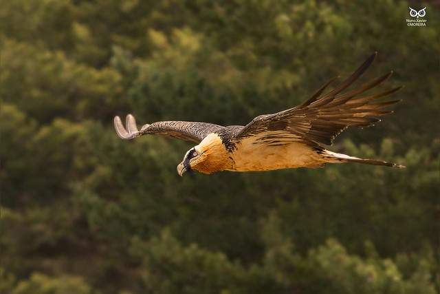 Quebra-ossos, Bearded vulture (Gypaetus barbatus)