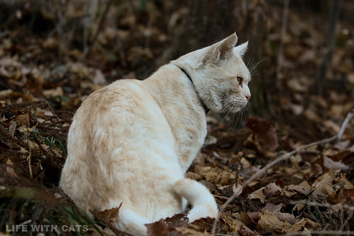 4T4A4706 Cream tabby Japanese cat 薄茶トラ猫