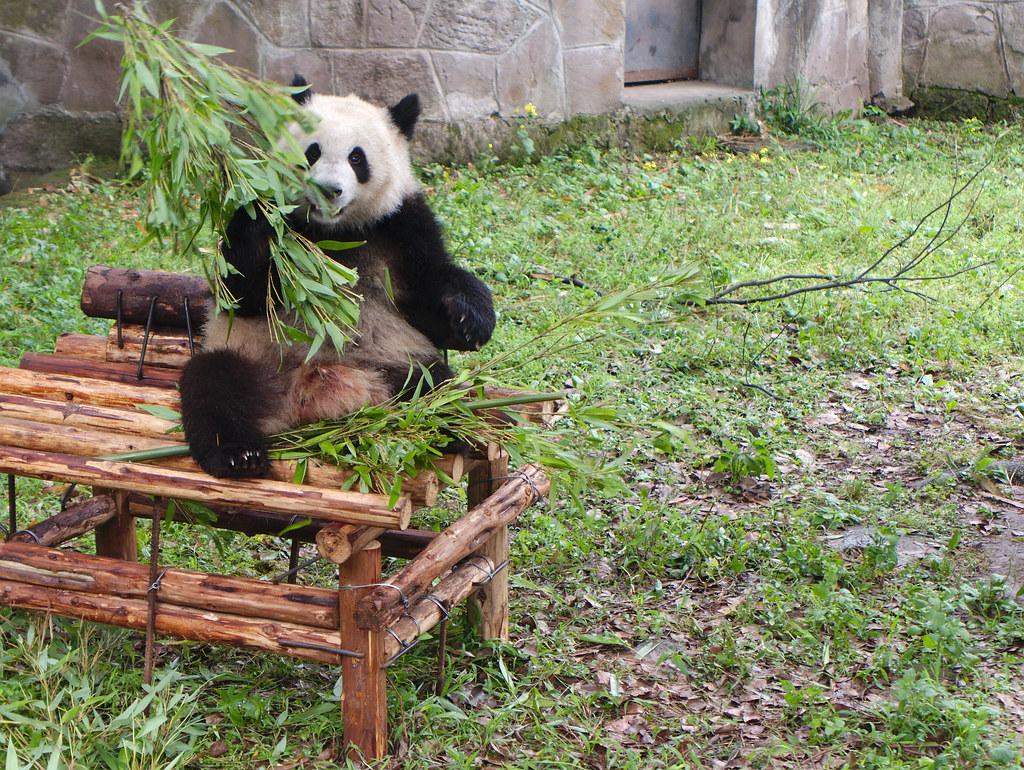 Baby Panda Eating Bamboo Chongqing China Marcus Hildum Flickr