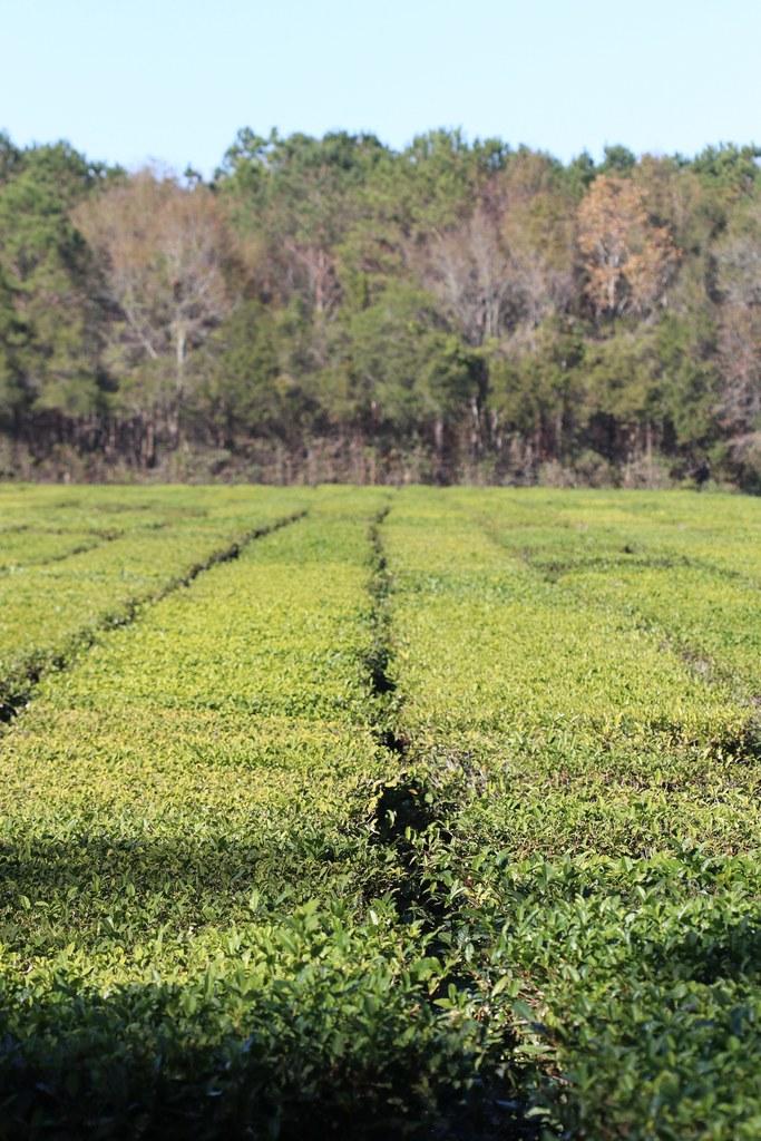 The Charleston Tea Plantation   The Charleston Tea ...