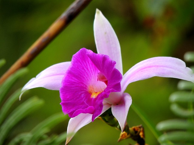Wild Orchid flower in the tropical highlands rainforest