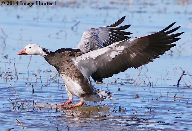 Snow Goose / Blue Morph - Cameron Prairie, Louisiana
