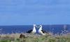 Laysan Albatross love by blueeyes_inoki