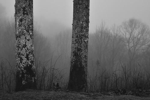 foggy rains drizzle treefungus blackandwhitephoto greatsmokies whitefungi greatsmokymountainsnp greatsmokymountainnp nikond800 nikoncapturenx2 adaywithoutsunshine oldtreebark nikkor24120mmf4gvr adaywithoutyou oldtreebarkwithfungus