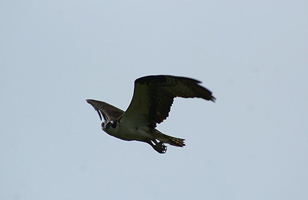 osprey look