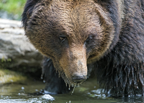 Closeup of a bear in the water | by Tambako the Jaguar