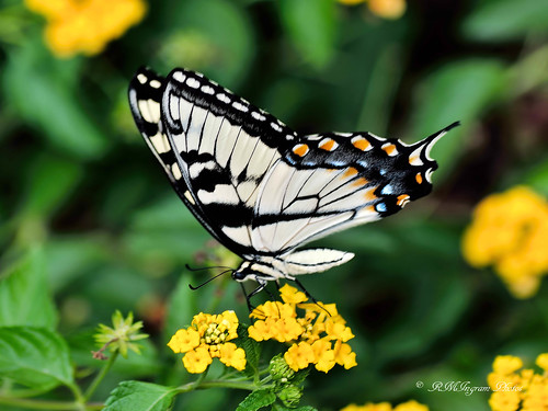easterntigerswallowtailpipilloglaucus easterntigerswallowtail butterflies butterfliesandmothsofnorthamerica butterfliesandmothsoftexas flyinginsects orderlepidoptera papillon nature loveslookouttexas nikonphotography