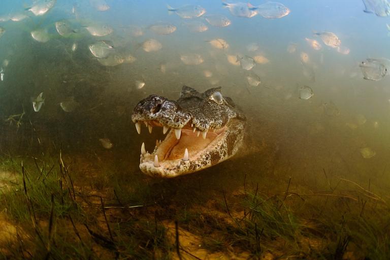 caiman-swim-pantanal-brazil adapt 768 1 | Travel agency spec
