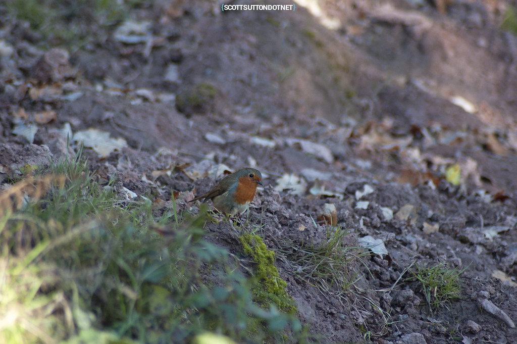 A Robin on the Caerleon cycle path