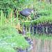 Gallinula galeata La Florida