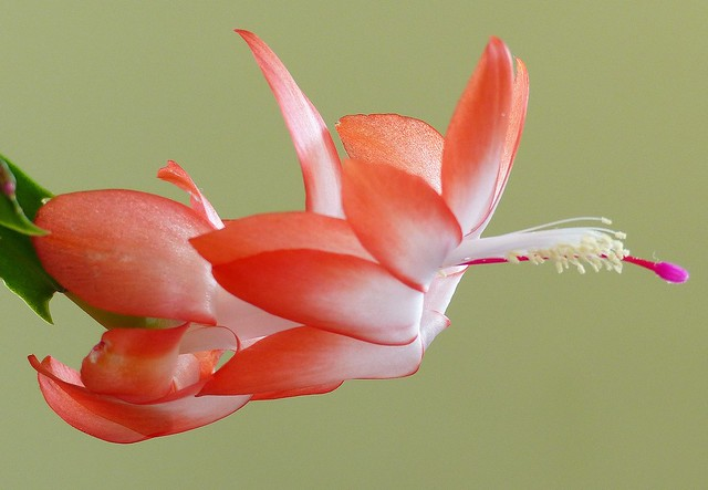 05. Second Christmas cactus flower to bloom for 2014 season in our home in Queens, New York