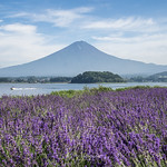 Lavender & Fujiyama.