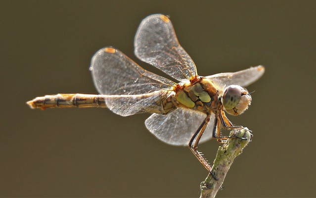 Dragonfly darter (Sympetrum striolatum ? )