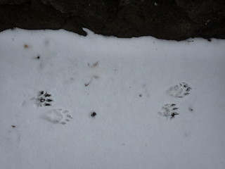 Raccoon tracks in snow | by gcchang