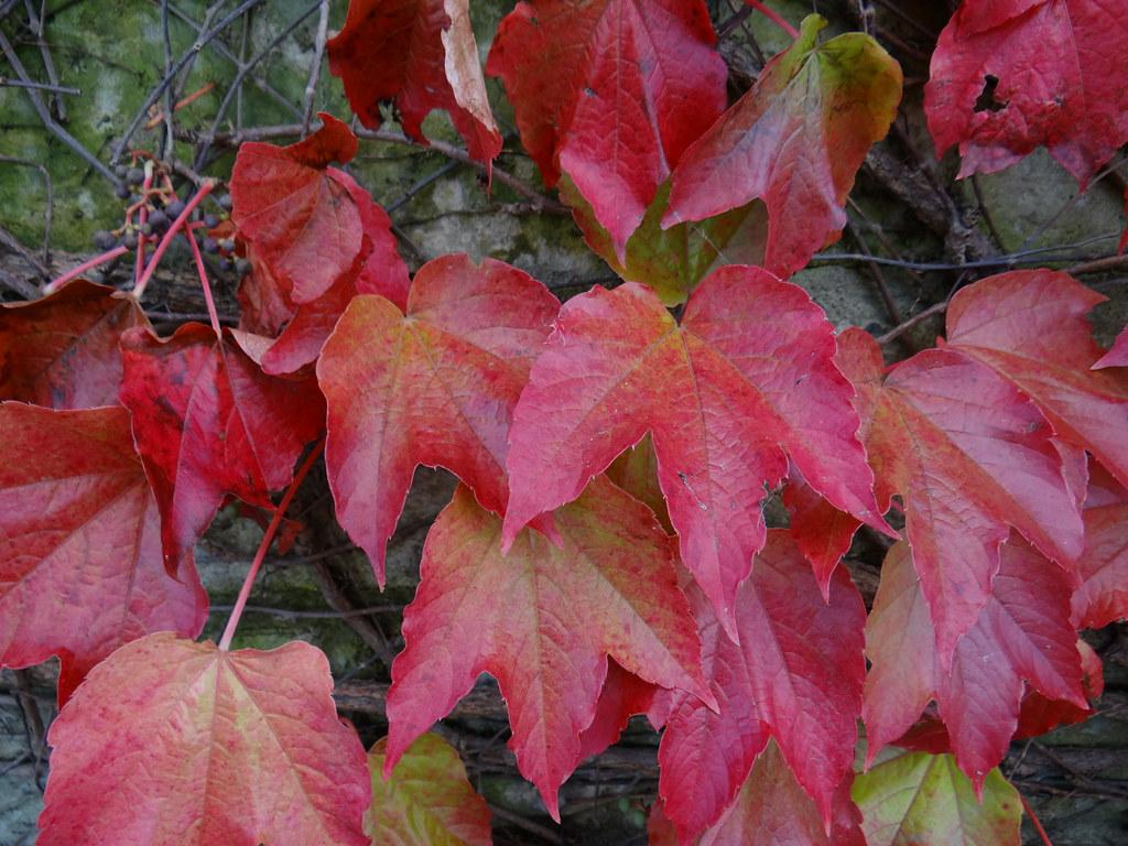 Welche Farbenpracht uns jetzt zu Füßen liegt, es ist Herbst die Wasserversorgung des Blattes und schafft zugleich eine Sollbruchstelle. Mit dem Korkverschluss an der Blattansatzstelle bildet der Baum aber auch einen äusseren Schutz, der verhindert, dass Krankheitserreger wie Bakterien oder Pilze eindringen können 2188