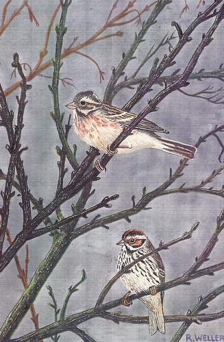 Rustic Bunting (Emberiza rustica) and Little Bunting (Emberiza pusilla), by Roy Weller | by Beddington Farmlands