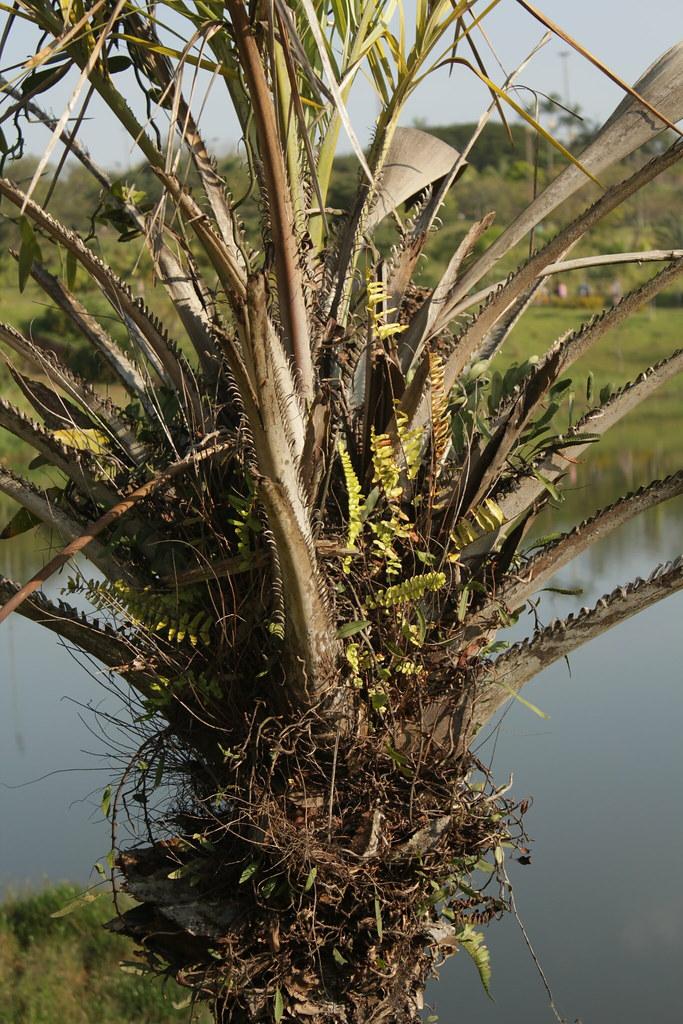 Syagrus coronata (Mart.) Becc.-003