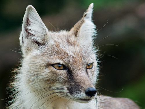 Corsac fox   by Michal Jeska