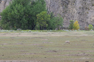 Coyote Eating Prarie Dog 1 | by CorporateRunaways