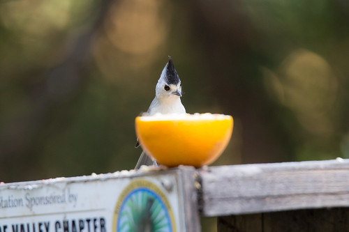 Black-crested Titmouse | by mrecount