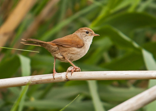 Warbler Cetti's Warbler Cettia cetti Faneromeni Ford Lesvos  19/05/09 | by Mick Sway