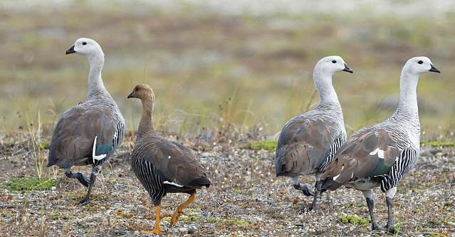 Caiquén / Upland Goose / Chloephaga picta