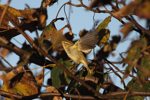 Hume's Leaf Warbler | by Chris B@rlow
