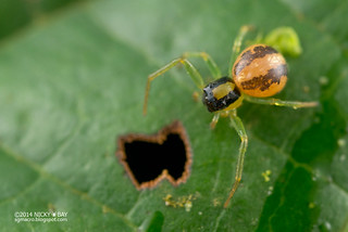 Crab spider (Talaus sp.) - DSC_9646