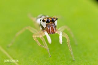 Jumping spider (Phintella sp.) - DSC_4225