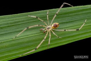 Mirror comb-footed spider (Thwaitesia sp.) - DSC_3827