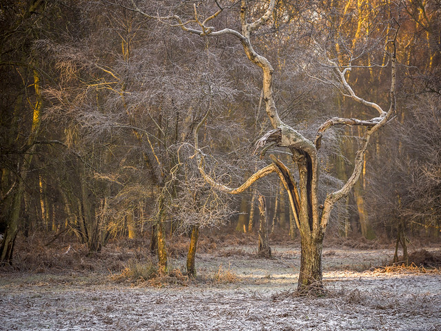 Frosted Birch