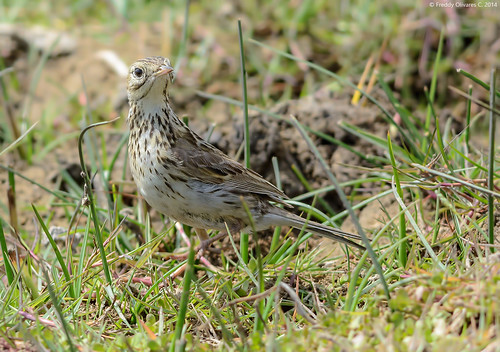 Bailarín chico | Correndera pipit | Anthus correndera chilensis | by Freddy Olivares C.