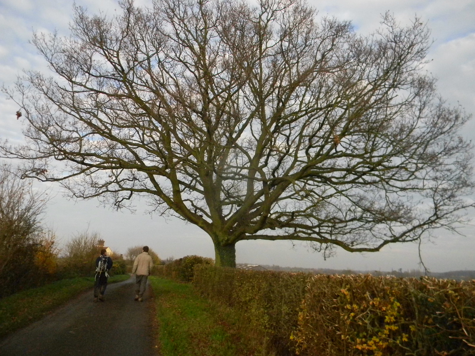 Big Tree Wakes Colne to Bures