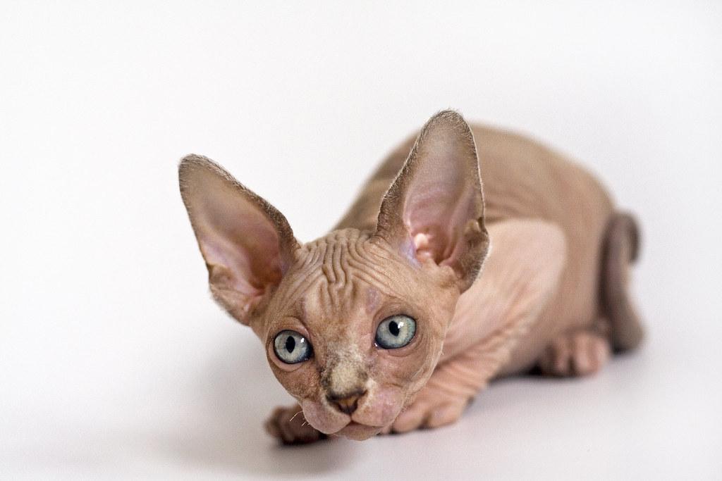 Sphynx kitten   Robin Stenman   Flickr