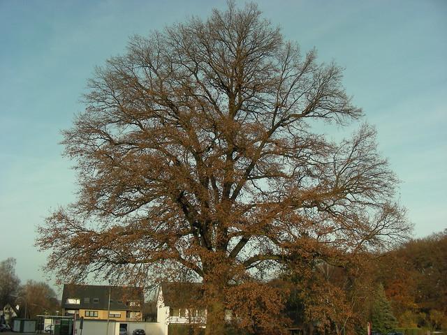 Pedunculate Oak (Quercus robur) in Voxtrup, late autumn.