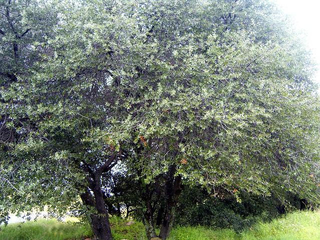 Quercus emoryi Torr. 1848 (FAGACEAE)