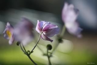 Blüten im Wind | by daniel.schiersner