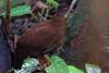 Sri Lanka Spurfowl (Galloperdix bicalcarata) by Ardeola