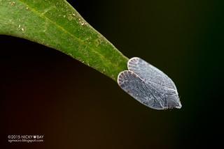 Planthopper (Lophopidae) - DSC_6123