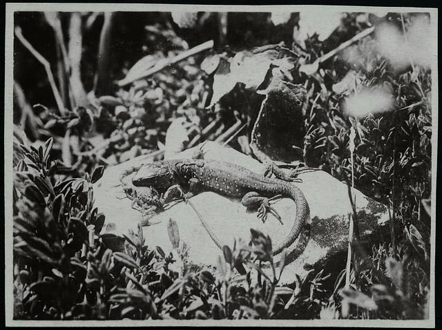 Archiv EE811 Echse und Skorpion, Marokko, 1929