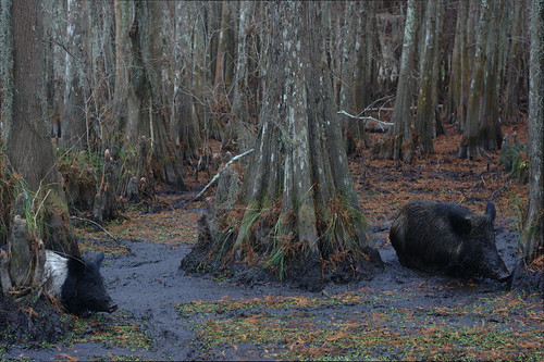 usa animals louisiana swamp pigs hogs neworleanstrip2014