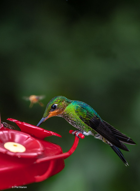 Hummingbird at feeder - Monteverde, Costa Rica