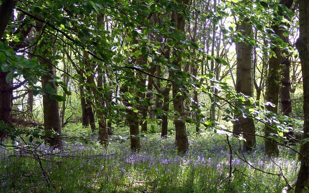 Bluebells, Strumpshaw Fen