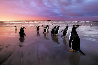 Gentoo Penguins, Falkland Islands (Islas Malvinas), British Overseas Territory | by :: Artie | Photography ::